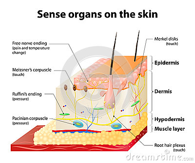 skin cross section diagram wiring for club car starter generator cutaneous receptors stock vector - image: 54225635