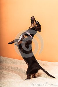 Cute Dog Jumping On Bed Stock Photo - Image: 56330619