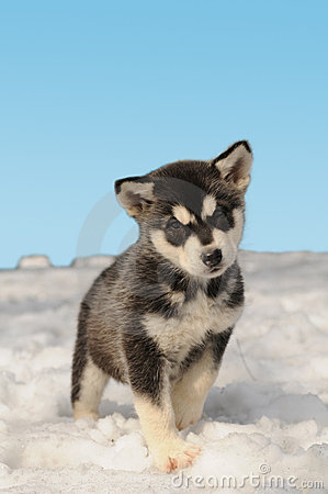 Cute Baby Blue Wallpaper Cute Husky Puppy On The Snow Royalty Free Stock