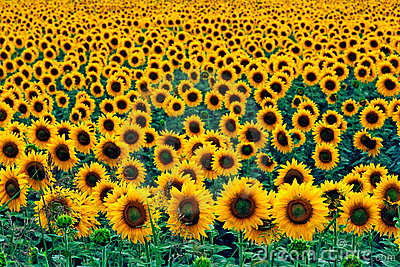 Fall Sunflower Wallpaper Field Of Sunflowers Royalty Free Stock Photo Image 5698355