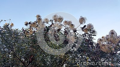 Frosty Plant Clematis Seed Heads