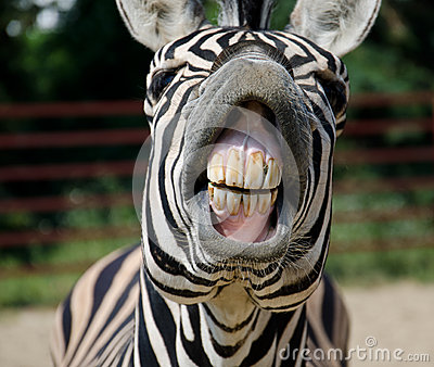 Funny Zebra Royalty Free Stock Images Image 36119599
