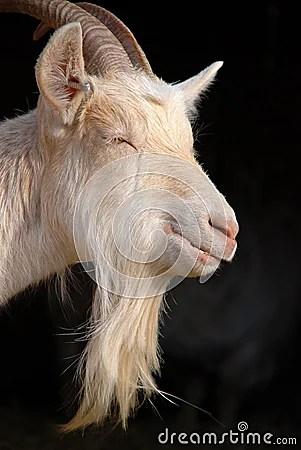 Goat Beard Stock Photography Image 9001762