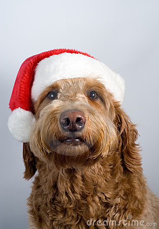 Golden Doodle Dog Santa Hat Royalty Free Stock Photos