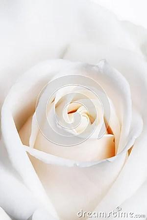 High Key Soft Focus White Rose Stock Photography  Image