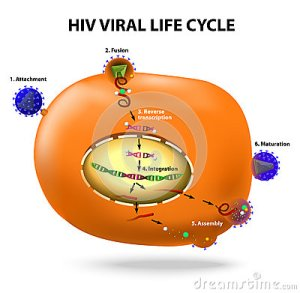 HIV Replication Cycle Stock Vector  Image: 43775780