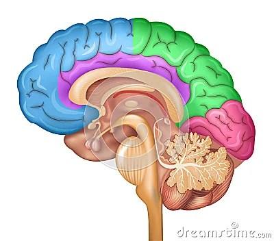 brain diagram sagittal view fleetwood motorhomes human lobes stock vector - image: 54986718