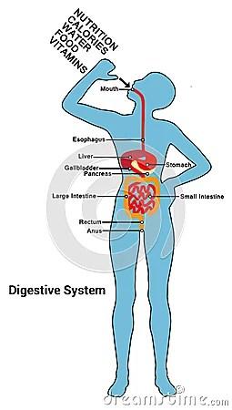 Diagram Of Eating Human Digestive System Diagram Illustration Stock Vector