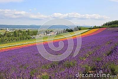 Lavender Flower Field Stock Photo
