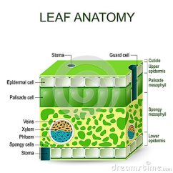 Palisade Cell Diagram Plant Rj45 Straight Through Wiring Leaf Anatomy. Vector Diagram. Stock - Illustration: 89533370