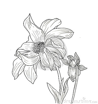 Line Ink Drawing Of Dahlia Flower Stock Illustration