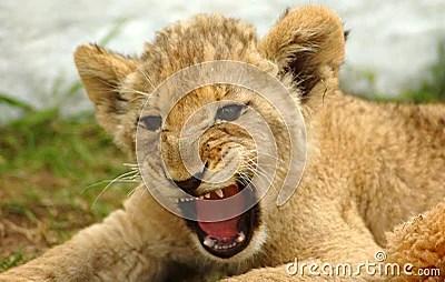 Cute Baby Cheetah Cubs Wallpaper Lion Cub Stock Images Image 1164304