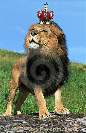 Dance Wallpaper 3d Lion Wearing Crown Royalty Free Stock Images Image 8064789