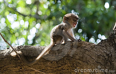 Lonely And Scared Infant Monkey Screaming For Help Stock