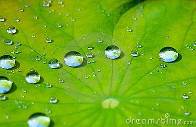 Glass Animals Wallpaper Lotus Leaf With Water Drop Stock Images Image 2879754