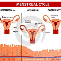 Menstrual Cycle Diagram With Ovulation Wiring Of Star Delta Starter Control Royalty Free Stock Photo - Image: 37934225