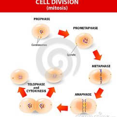 Steps Of Meiosis Diagram 240 Wiring Mitosis. Process Cell Division Stock Photography - Image: 34760732