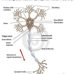 Labelled Diagram Of Nerve Cell Sunvic Motorised Valve Wiring Diagrams Motor Neuron, Detailed And Accurate, Labeled Vers. Stock Photography - Image: 18773082