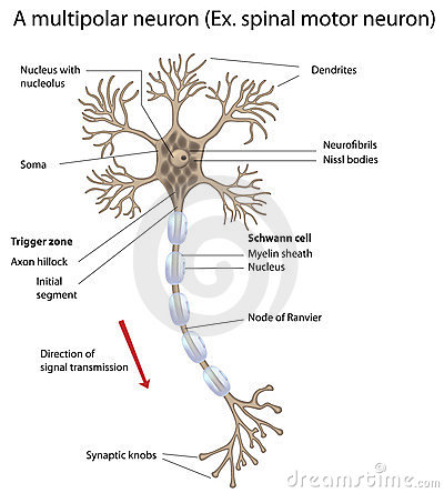 detailed neuron diagram er template soma free stock photos stockfreeimages neurons motor and accurate labeled vers photography 18773082