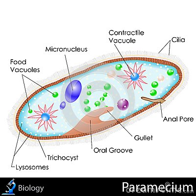 paramecium diagram blank wiring for amana dryer of a and electrical animal cell get free image about amoeba 8th