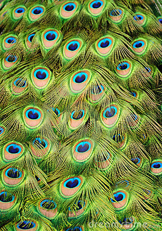 Peacock Background Royalty Free Stock Photography Image