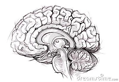 Pencil Skethy Study Of Human Brain Royalty Free Stock