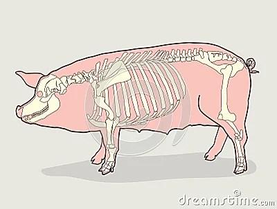 chicken skeleton diagram 2000 camaro engine pig skeleton. vector illustration. diagram. stock - image: 70875603