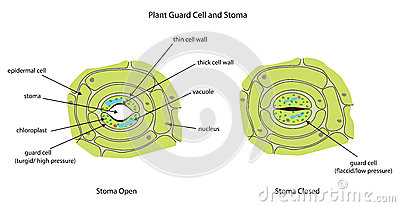 structure of stomata with diagram clipsal saturn intermediate switch wiring plant guard cells stoma fully labeled. stock illustration - image: 51409771