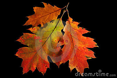Red Oak Leaves Autumn Or Fall Colors Royalty Free Stock