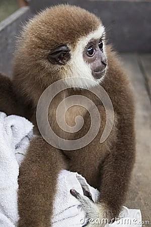 Sad Baby Monkey Royalty Free Stock Photo Image 34204535