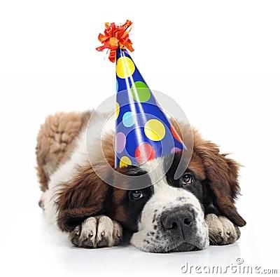 Cute Cat And Dog Wallpaper Hd Saint Bernard Wearing A Polka Dot Birthday Hat Stock
