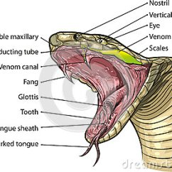 Snake Anatomy Diagram Wiring For Parrot Ck3100 Mouth Royalty Free Stock Photography - Image: 30810947