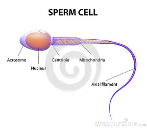 Structure Of A Sperm Cell Stock Vector  Image: 43980330