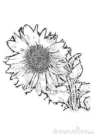 Sunflower Black And White Drawing Royalty Free Stock