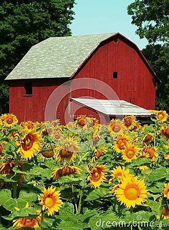 Sunflower Farm Stock Photos Image 184883