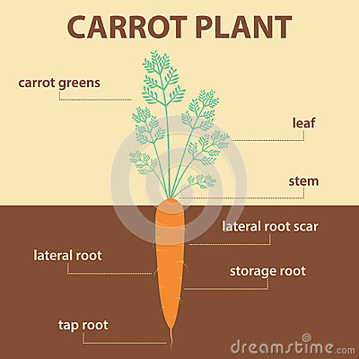 carrot plant diagram murray riding lawn mower wiring vector showing parts of whole stock - image: 64781342
