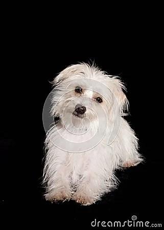 White Dog With Black Background Stock Photos  Image 13609773