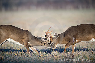 Fall Wallpaper With Deer Whitetail Deer Fighting Stock Image Image 7930761