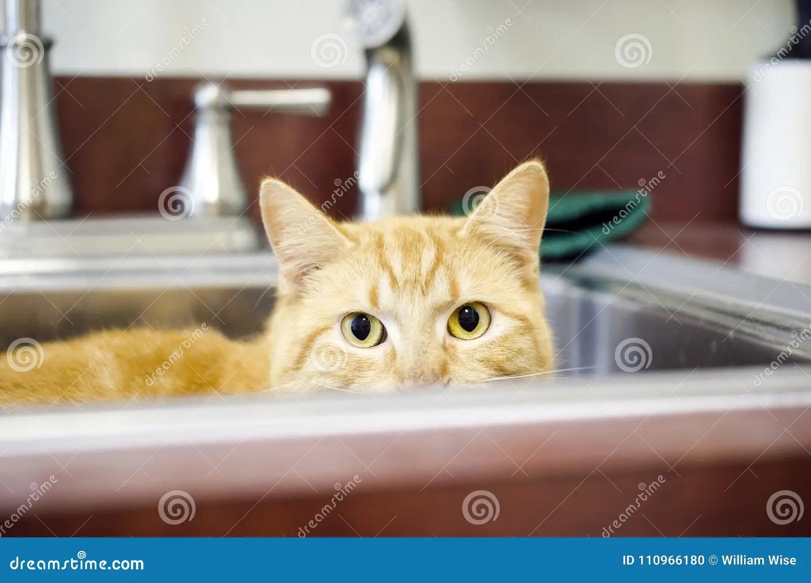 rohl kitchen sinks fixtures lowes 掩藏在厨房水槽的橙色汤姆猫库存照片 图片包括有全部赌注 人道 采用 掩藏在厨房水槽的橙色汤姆猫