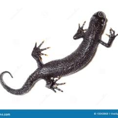 Kitchen Salamander Safety Shoes For Women 有顶饰cristatus极大的蝾螈triturus 库存照片 图片包括有唯一 视图
