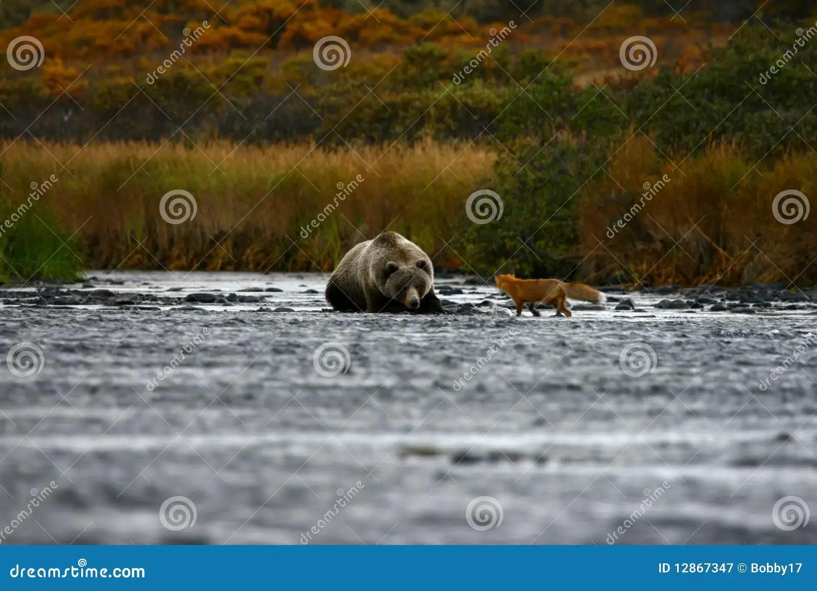 熊棕色狐貍科迪亞克熊 免版稅圖庫攝影 - 圖片: 12867347