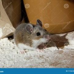 Kitchen Cabinet Covers 3 Light Island Pendant 盖在面粉一只野生棕色家鼠看起来有罪 当站立在容器在厨柜时的食物前面 一只野生棕色家鼠的正面图 Mus肌肉 盖在面粉 站立在厨柜 啮齿目动物从左边在堆被点燃和站立与一个被弄皱的包装纸袋子 红色胡椒粉原料和花生酱容器的面粉在背景中