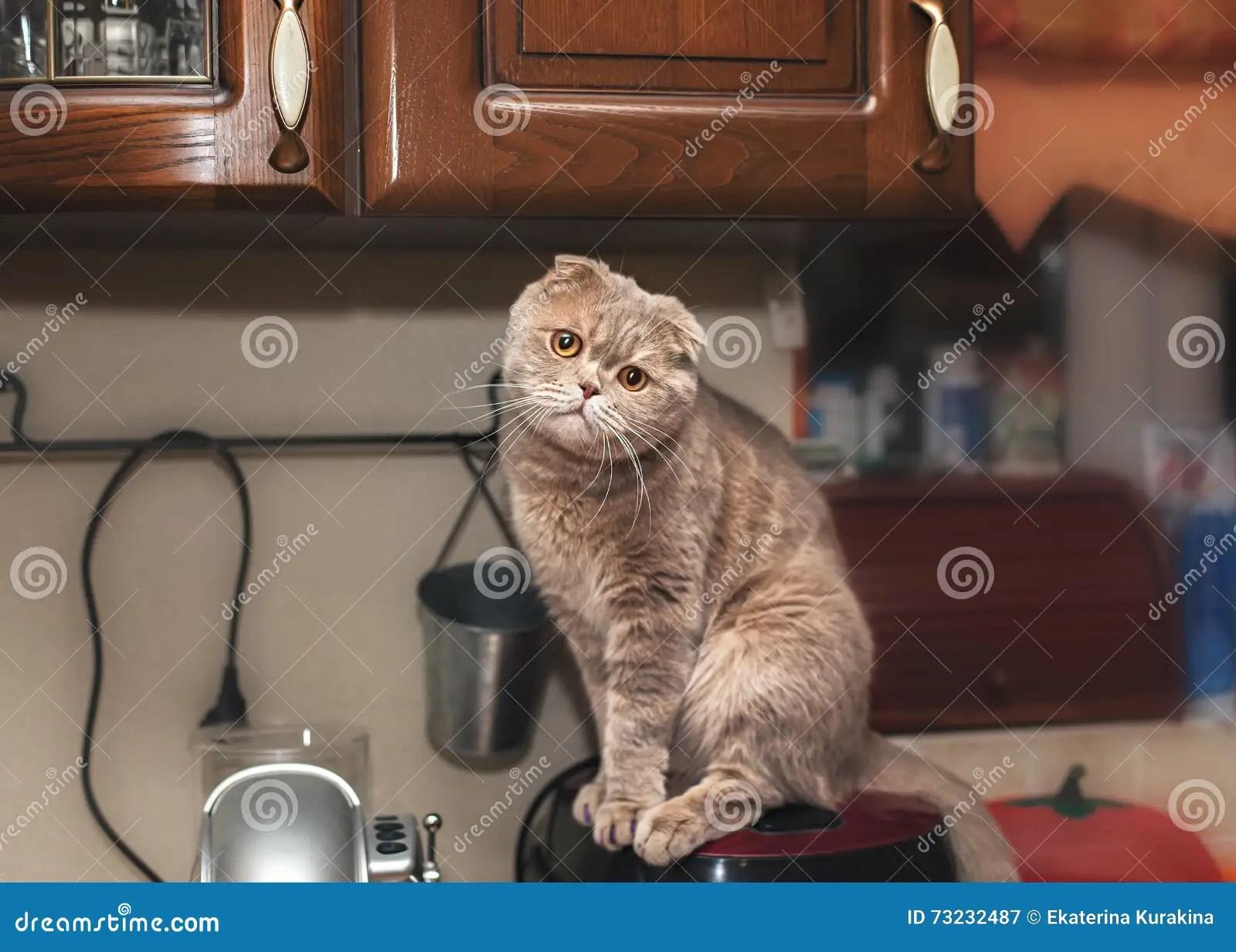 cats in the kitchen modern light fixtures 滑稽的猫在厨房里库存图片 图片包括有纵向 宠物 头发 厨房 逗人喜爱 滑稽的猫在厨房里