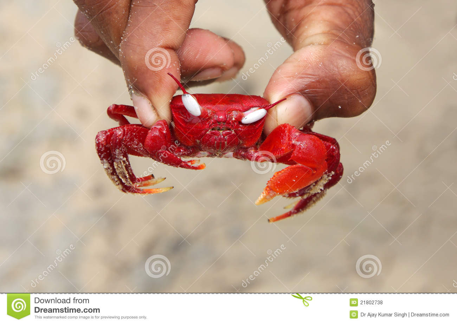 美麗的螃蟹注視紅色白色 庫存照片. 圖片 包括有 美麗的螃蟹注視紅色白色 - 21802738