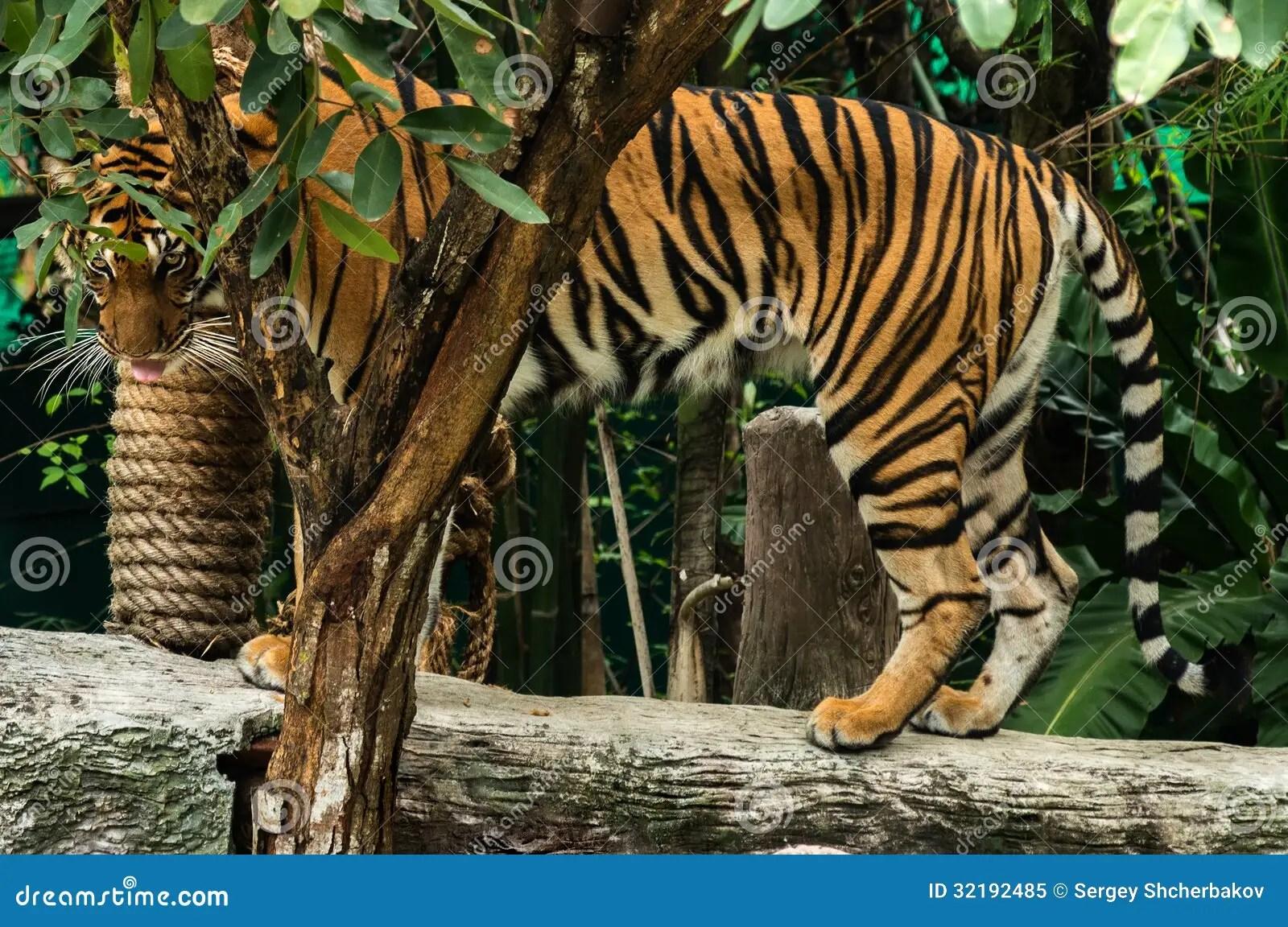 老虎眼睛 免版稅庫存照片 - 圖片: 32192485