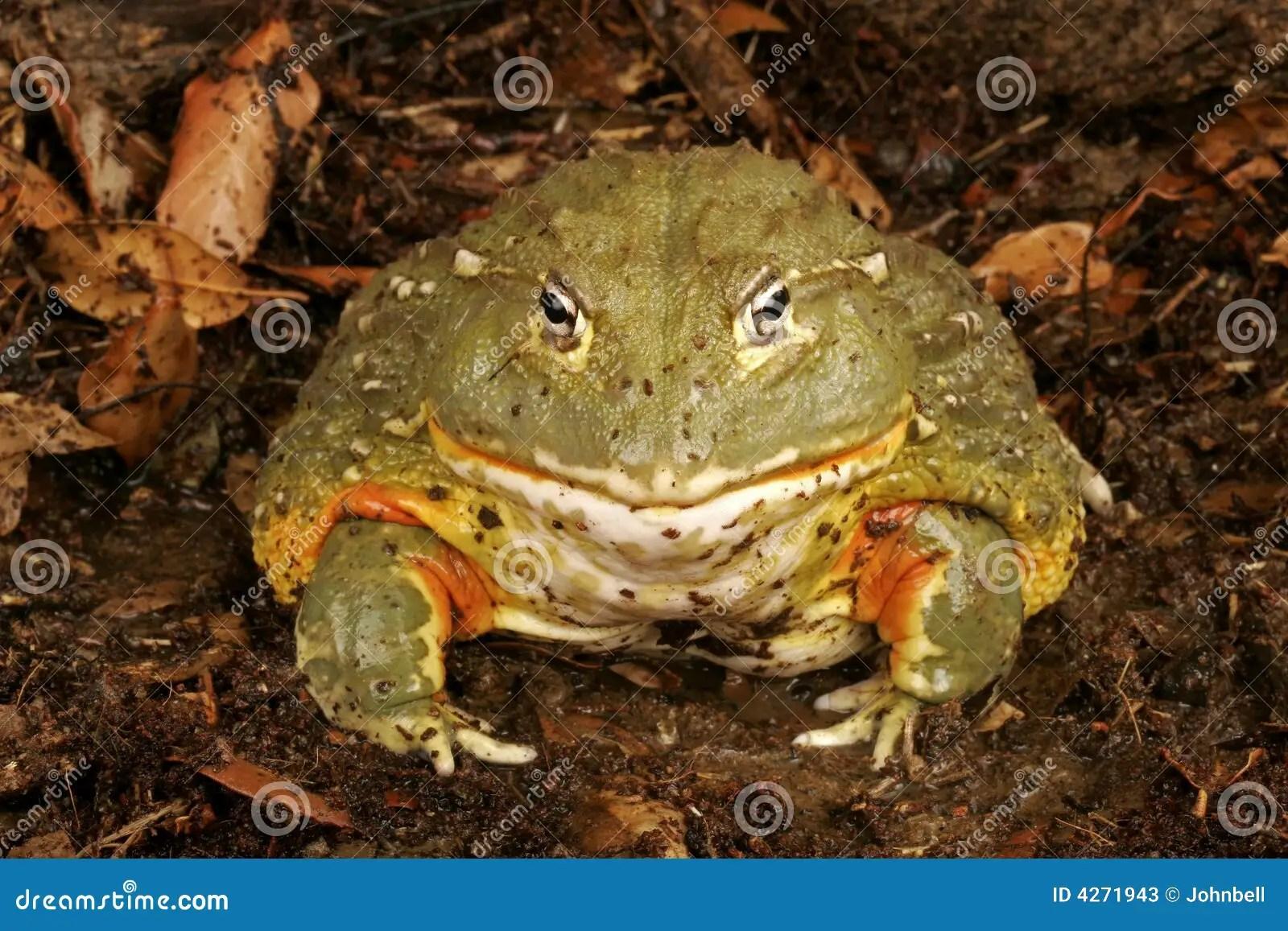 非洲牛蛙 庫存照片 - 圖片: 4271943