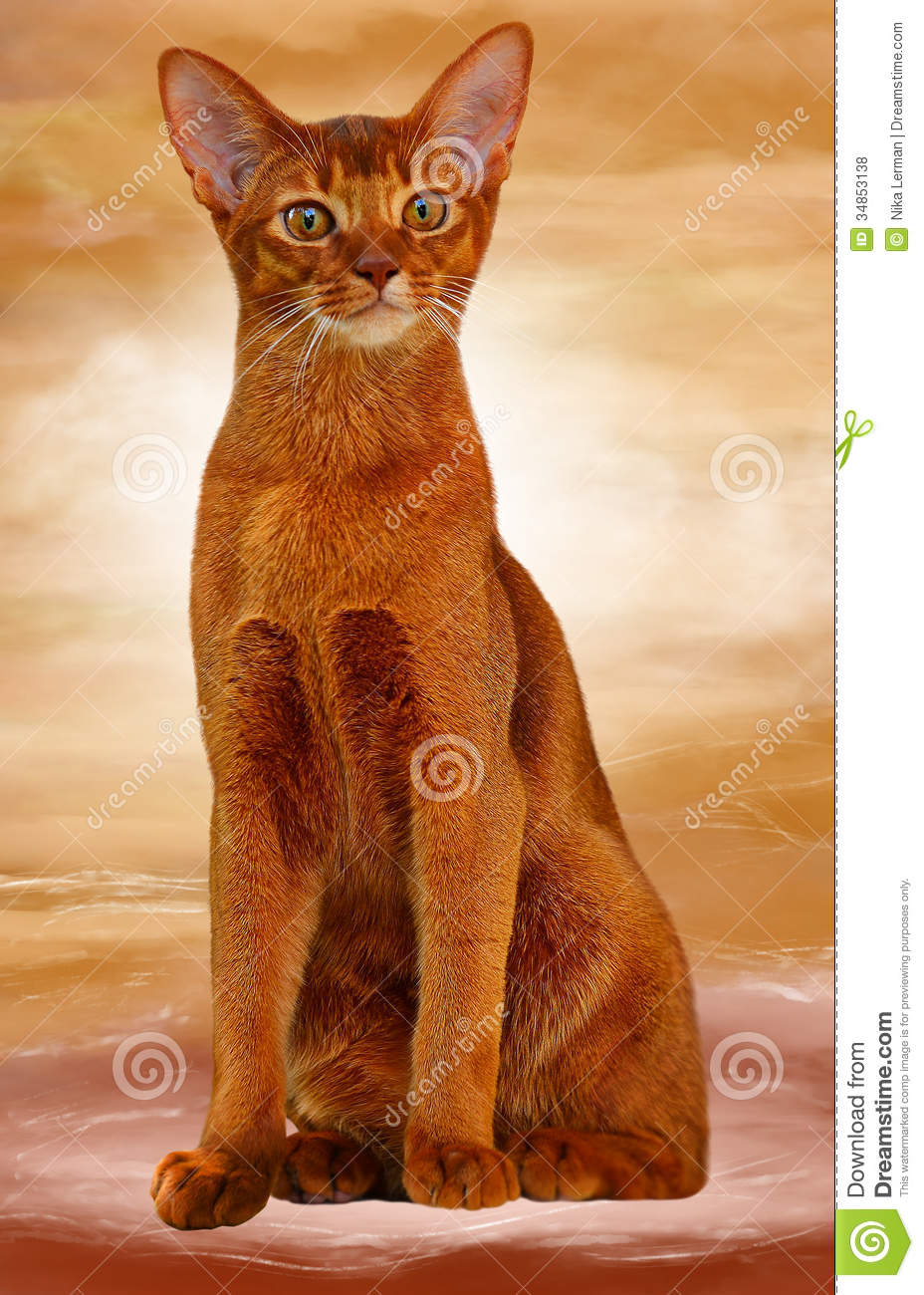 Abyssinian Cat Sorrel Color Stock Photo  Image 34853138
