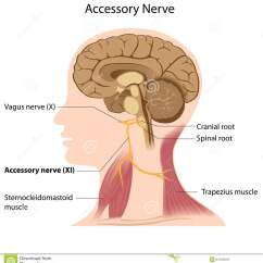 Nerves In Neck And Shoulder Diagram Cummins N14 Celect Plus Wiring Accessory Nerve Stock Vector Illustration Of Brainstem 24703319 The Cranial 11 Responsible For Movement Head Eps8