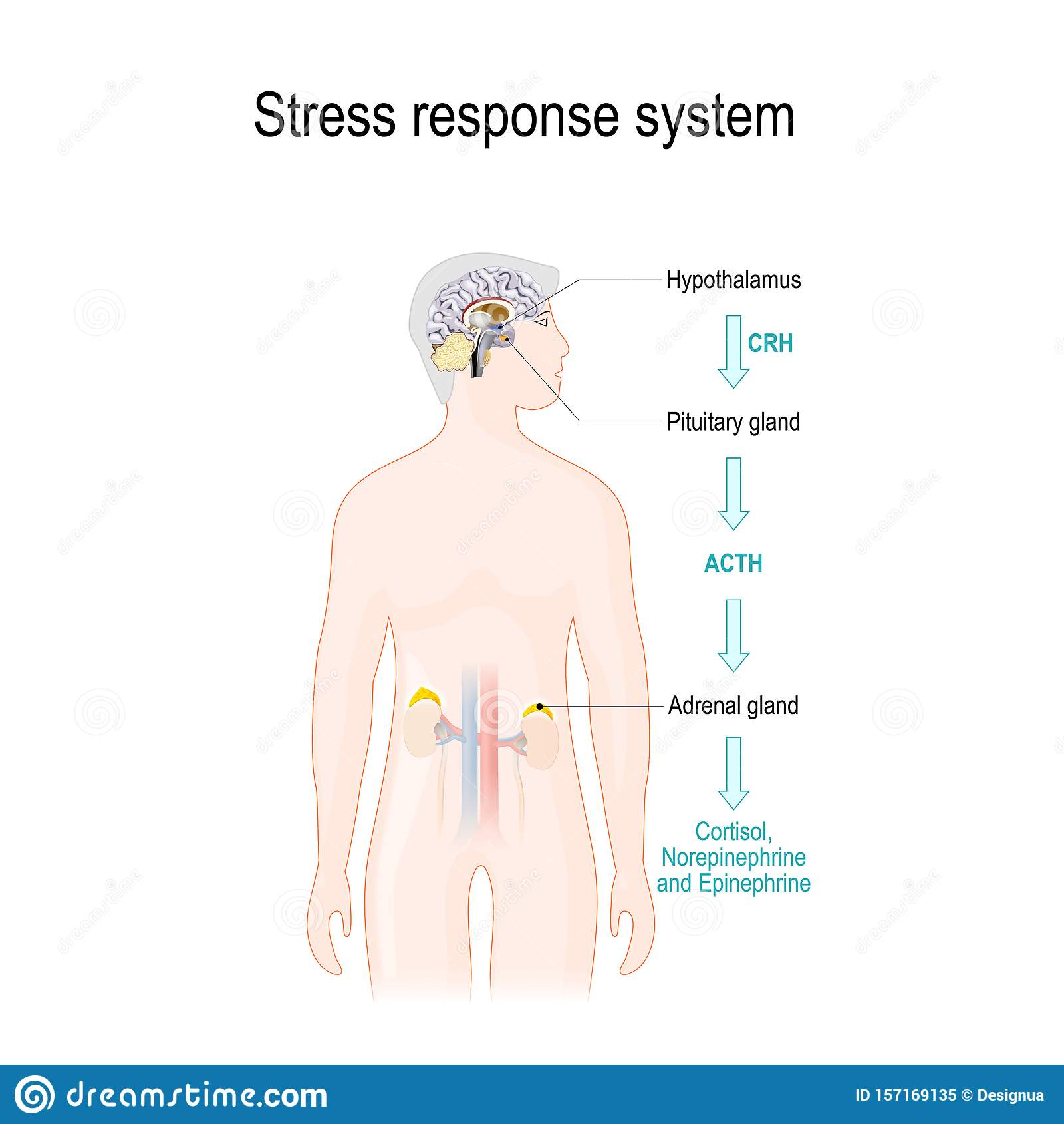 Activation Of The Stress Response System Stock Vector