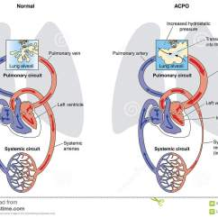Squirrel Organs Diagram Trane Voyager Wiring Diagrams Heart Lung And Kidney Free Engine Image